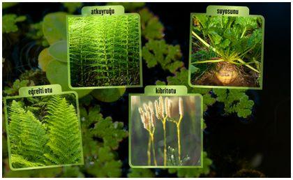 çiçeksiz bitkiler türkçe ile ilgili görsel sonucu